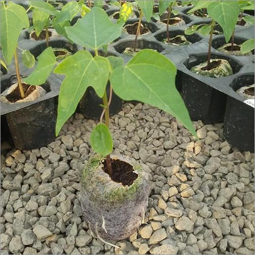 Fresh Papaya Plants