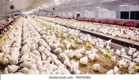 Poultry Firm Services