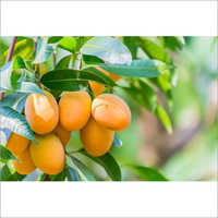 A Grade Fresh Mango