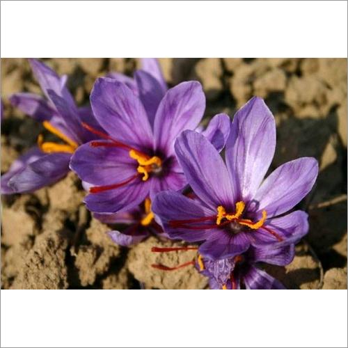 Kashmiri Saffron Bulb