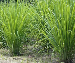 Lemon Grass Contract Farming