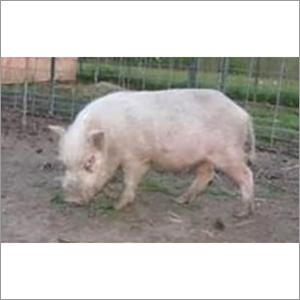 White Yorkshire Pig