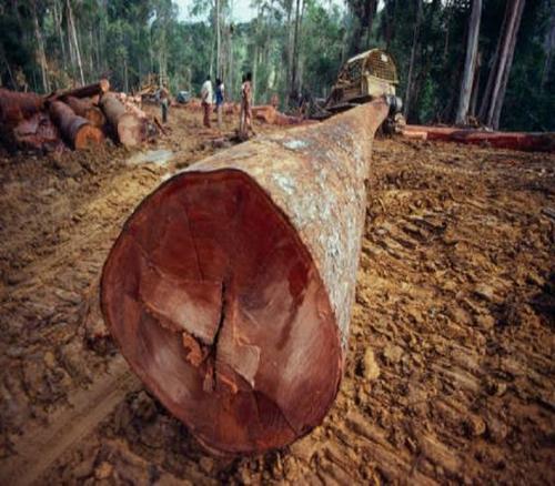 Teak Wood - Round Logs, Swan Timber Logs