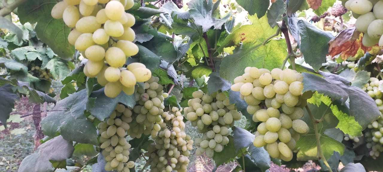 Thompson Green Grapes
