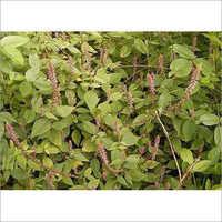 Achyranthes Aspera Plant Extract