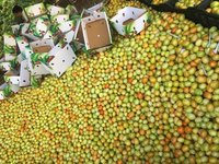 7kg Box Packed Green Tomato