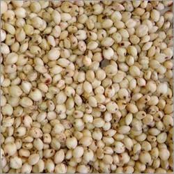 Sorghum Jowar Seeds