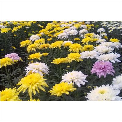 Chrysanthemum Plants