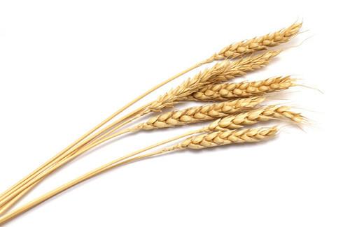 Lokwan Wheat