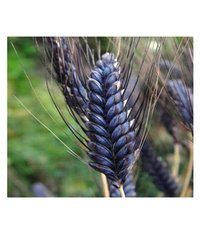 Organic Black Wheat