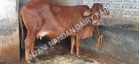 Indian Desi Cow Sahiwal
