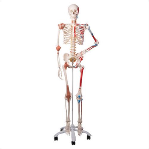 Human Muscular Skeleton