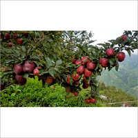 Fresh Red Royal Apple