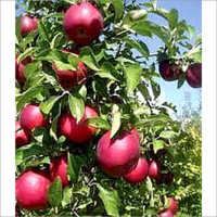Natural Delicious Apple