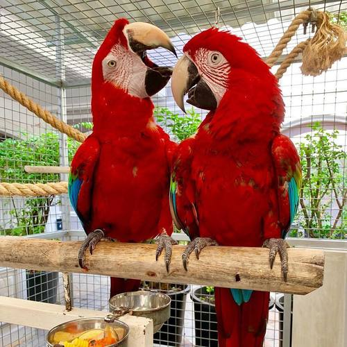 Cockatoos And Macaw  ( Salmon Crested Cockatoos )