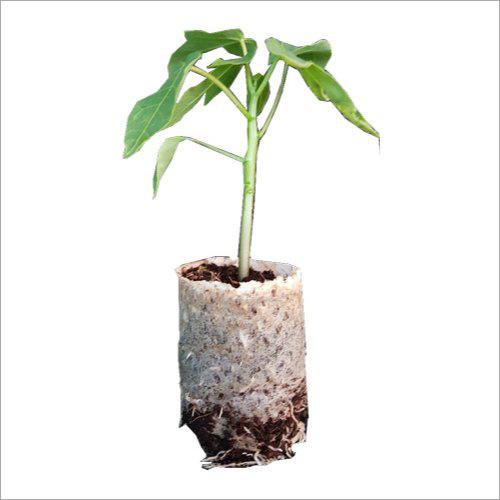 Organic Papaya Plant