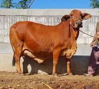 Brown and Red Sahiwal Cow Supplier in Karnal
