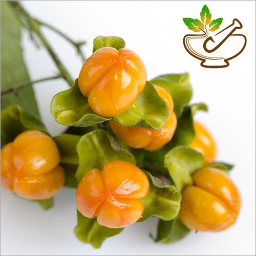 Jyotishmati Oil-Malkangani Seed Oil (Celastrus Pan
