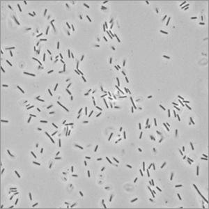 Bacillus Furmis Probiotic