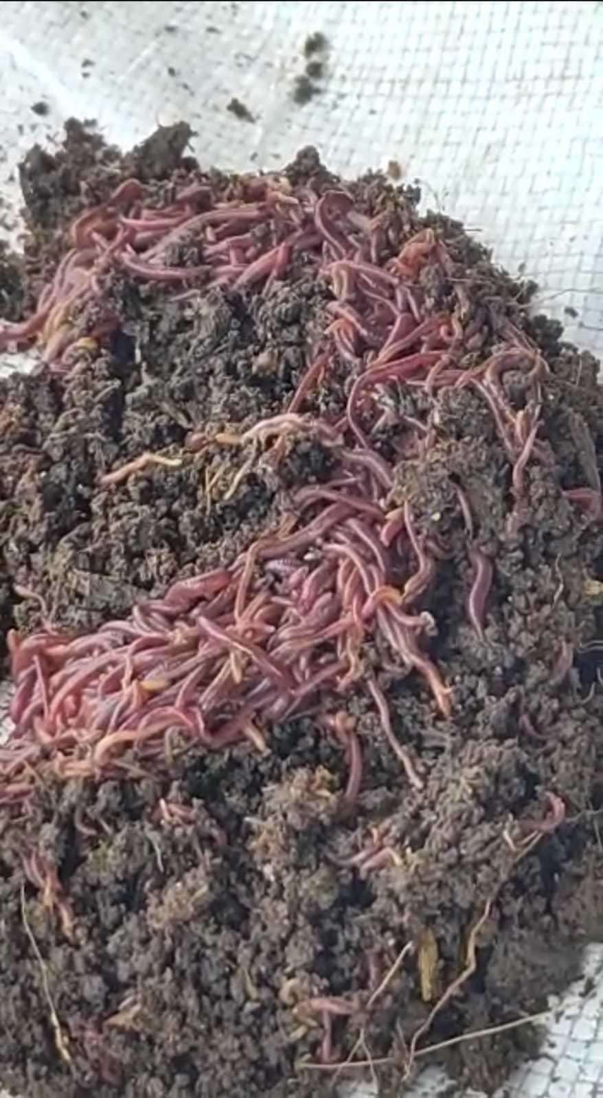 Earth Worm Eisenia foetida
