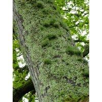 Treemoss Absolute