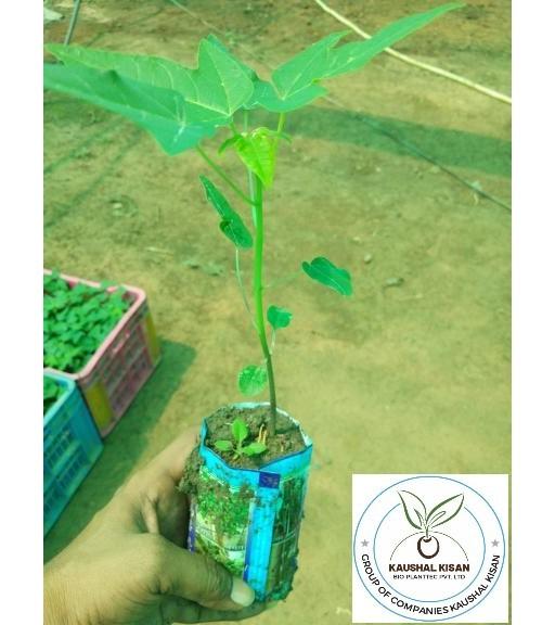 Ice Berry Papaya Plant
