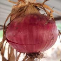 Nashik Red Onion Seeds