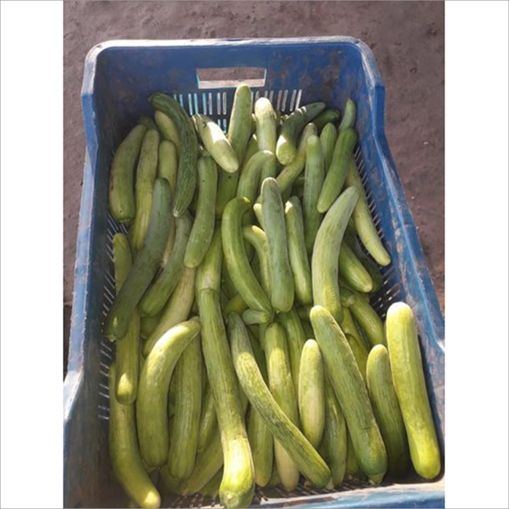 Organic Hybrid Cucumber Seeds