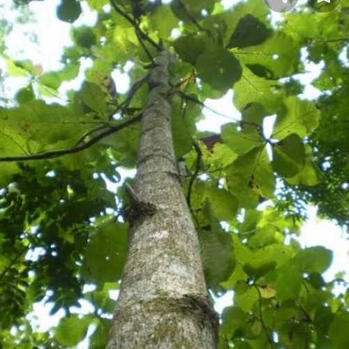 Teak plants (lamiaceae)