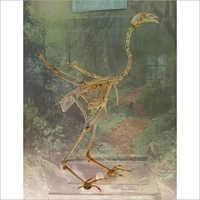 Skeleton Of Hen