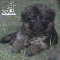 Long Coat German Shepherd Dog