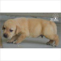 Golden Labrador Dog Puppy