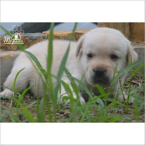 Labrador Retriever Dog Puppy