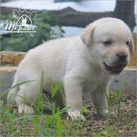 Labrador Baby Dog