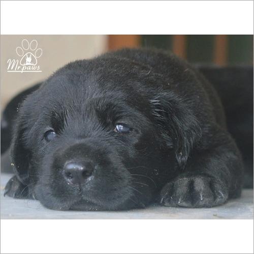 Black Labra Dog