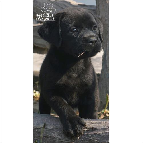 Black Labrador Baby