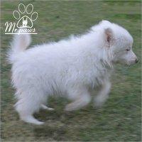 Toy Pom Pomeranian Dog Breed