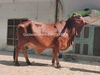 Sahiwal Cattle Supplier In Maharashtra