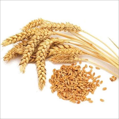 High Quality Wheat Seeds