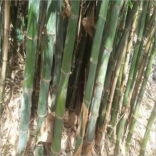 Fresh Bamboo Plant