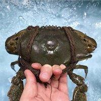 Black Mud Crab