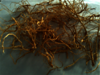 Aerva lanata