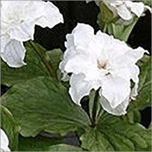 Trillium Govaianum