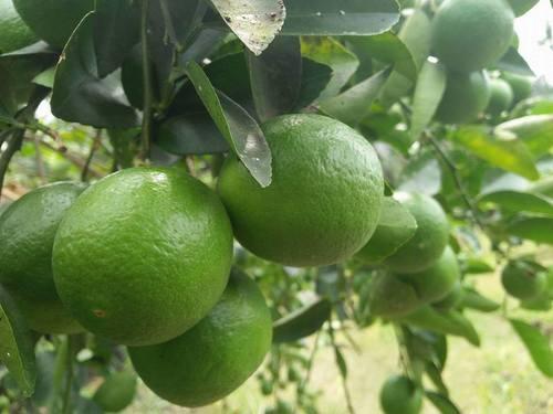 Organic Fresh Green Lemon