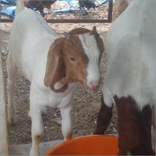 Livestock Goats