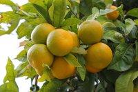Mandarine Oil Yellow