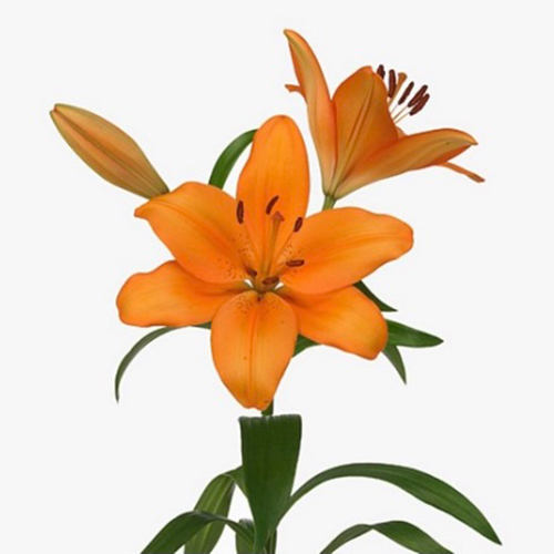 Asiatic Lilly Orange