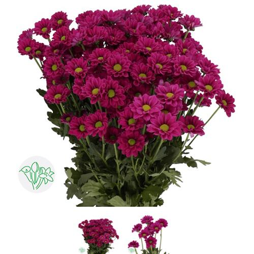 Chrsanthemum Button Hot Pink