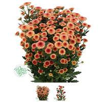 Fresh Chrsanthemum