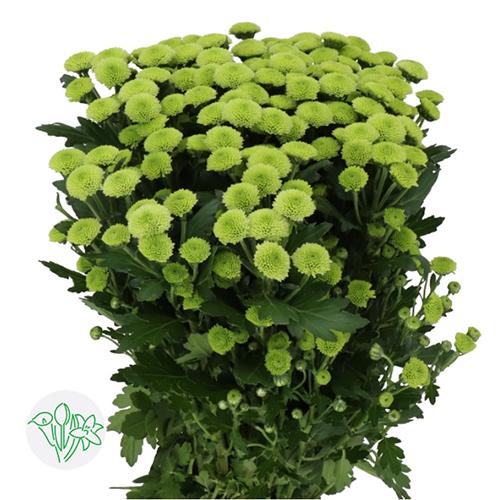Chrsanthemum Green